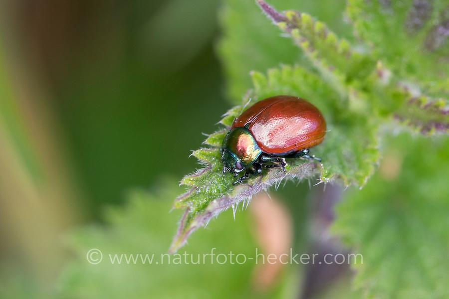 Geglätteter Blattkäfer, Chrysolina polita, Chrysomela polita, leaf beetle, la chrysomèle polie