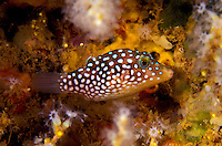 An Hawaiian Whitespotted Toby (Canthigaster jactator). A tiny reef fish about 2 inches long with green eyes and white spots to aid in its camouflage.