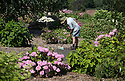 """20/06/16<br /> <br /> Alf Bousie sweeps up the secret garden's footpaths.<br /> <br /> Tucked away in a hidden walled garden of an inner-city public park, the UK's largest hydrangea collection is putting on its best display ever, following the sudden heatwave after several months of rain.<br /> <br /> Full story:  <br /> <br /> https://fstoppressblog.wordpress.com/britains_biggest_hydrangea_garden/<br /> <br /> .And what used to be a flower traditionally associated with """"granny's cottage garden"""" is blooming back into fashion thanks to the rising trend for all things shabby chic and retro-styled.<br /> <br /> There are more than 600 individual hydrangea bushes with a dozen or so different varieties, planted in Derby's Darley Abbey park, formerly part of an estate belonging to the nearby cotton mills.<br /> <br /> All Rights Reserved, F Stop Press Ltd. +44 (0)1773 550665"""