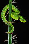 Adult Keeled pit viper (Tropidolaemus subannulatus) (formerly Wagler's pit viper (Trimeresurus wagleri) in the undergrowth. Bako National Park, Sarawak, Borneo.