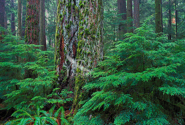 Coastal old-growth Douglas fir (Pseudotsuga menziesii) & young western hemlock trees (Tsuga heterophylla) in Cathedral Grove, MacMillan Provincial Park,Vancouver Island, British Columbia, Canada.