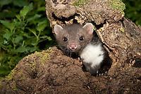 Steinmarder, Stein-Marder, Marder, Jungtier, an einer natürlichen Baumhöhle in Obstbaum, Martes foina, beech marten, stone marten