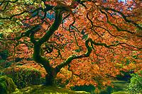 The iconic Japanese maple tree in Oregon's botanical gardens.<br /> <br /> ARTIST CHOICE: 40x60 Lumachrome/Acylic
