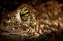 Natterjack Toad (Epidalea calamita) detail of eye, Sefton Coast,  Merseyside, UK. April. Photographed under licence. Photographer: Alex Hyde
