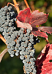 Italy, Alto Adige - Trentino (South Tyrol), Community Appiano sulla Strada del Vino: grape-vine with blue grapes | Italien, Suedtirol, bei Bozen, Gemeinde Eppan: Weinrebe, blaue Trauben