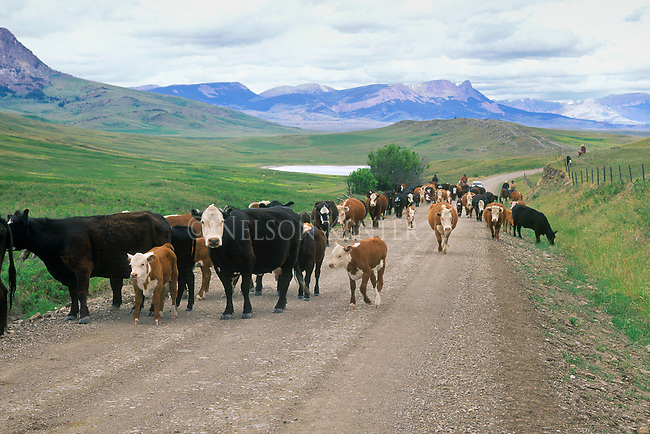 Cattle Drive on the east front of the Rocky Mountains in Montana