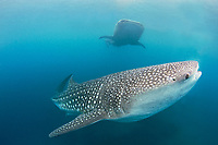 Two whale sharks, Rhincodon typus, swimming by in the Bohol Sea, Philippines, Indo-Pacific Ocean
