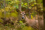 White-tailed deer deep in the forest