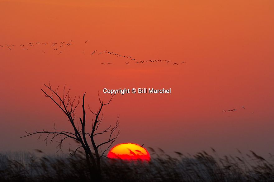 01080-012.17 Sunrise (DIGITAL) Various waterfowl are silhouetted against low sun and orange sky.  Hunt, marsh, wetland.  H0E1