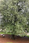 T-031 Kermes Oak in Nabi Hazuri