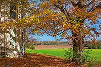 Maple tree and old farm house overlooking hay and farm fields at the Braun Farm in Westerville OH