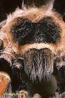 SI21-009z  Tarantula -red legged -face
