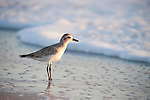 Sanibel Island, Florida; a Black-bellied Plover (Pluvialis squatarola) bird forages for food at sunset, in the wet sand left by the receeding waves of the Gulf of Mexico © Matthew Meier Photography, matthewmeierphoto.com All Rights Reserved