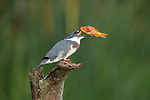 SEQUENCE 5 of 10.<br /> <br /> A young kingfisher swallows a large goldfish whole despite its prey being almost as large as it is.  The impressive meal was brought to the youngster by one of its parents as it sat on the branch of a dead tree.<br /> <br /> These photographs were taken by Chris Schlaf, at a lake in the garden of his home in the village of Romeo, Michigan, in the United States.  SEE OUR COPY FOR DETAILS.<br /> <br /> Please byline: Chris Schlaf/Solent News<br /> <br /> © Chris Schlaf/Solent News & Photo Agency<br /> UK +44 (0) 2380 458800
