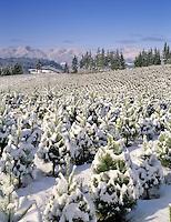 Christmas trees with snow. Near Monroe, Oregon.