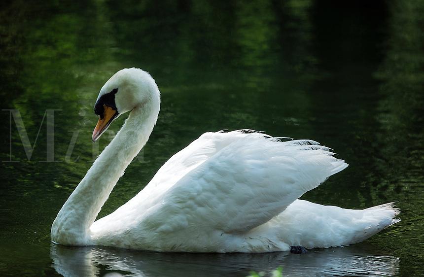 Mute Swan, USA