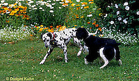 SH24-014z  Dog - English Springer and Dalmatian