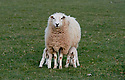 Lambs and Ewes on a Cotswolds Farm in Spring. CREDIT Geraint Lewis