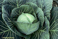 HS37-008b  Cabbage - Perfect Action variety