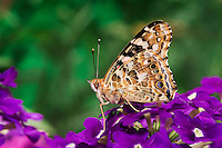 American Painted Lady Butterfly (Cynthia virginiensis) on Flax flowers (Linum perenne) in backyard garden. Summer. Nova Scotia, Canada.