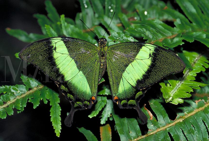 PAPILIO PALINURUS, Banded Peacock Butterfly     subfamily - Papilioninae;  family - Papilionidae; order - Lepidoptera;      class - Insecta;    phyllum - Arthropoda;     kingdom - Animalia. NEW ORLEANS LOUISIANA USA AUDUBON ZOO.
