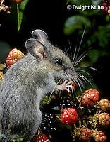 MU50-116z   Deer Mouse - young adult eating blackberries - Peromyscus maniculatus