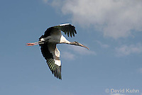 0111-0965  Flying Wood Stork, Mycteria americana  © David Kuhn/Dwight Kuhn Photography
