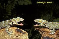 GK02-006z  Tokay Geckos defending territories, Gekko gecko