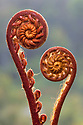 Fern fronds (species unknown) in mid-altitude montane forest in the heart of Maliau Basin, Sabah's 'Lost World', Borneo.