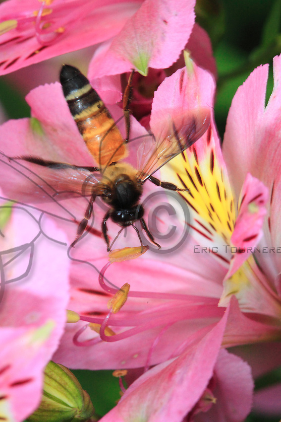 A Dorsata bee on a rhododendron flower, an indigenous variety in those low altitude mountains.