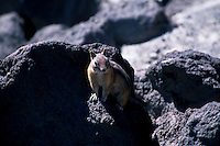 Cascade Golden-Mantled Ground Squirrel (Spermophilus saturatus), Mt. St. Helens National Volcanic Monument, Washington, US