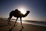 Dromedary (Camelus dromedarius) camel silhouetted on beach at sunrise, Hawf Protected Area, Yemen
