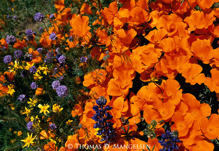 California Poppies blooming on a hillside in the Tehachapi Mountains in California.