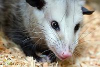 Oh Opossum!