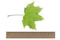 Spitz-Ahorn, Spitzahorn, Spitzblättriger Ahorn, Ahorn, Acer platanoides, Norway Maple, L'Érable plane, Érable de Norvège, Iseron, Plane, Main-découpée, Plaine, Faux Sycomore. Blatt, Blätter, leaf, leaves