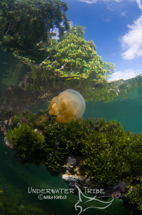 Jellyfish at the surface, Mastigias sp., Jellyfish Lake, Kakaban Island, Berau, Kalimantan, Borneo, Indonesia, Pacific Ocean