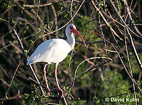 0111-0995  White Ibis Perched in Tree, Eudocimus albus  © David Kuhn/Dwight Kuhn Photography.