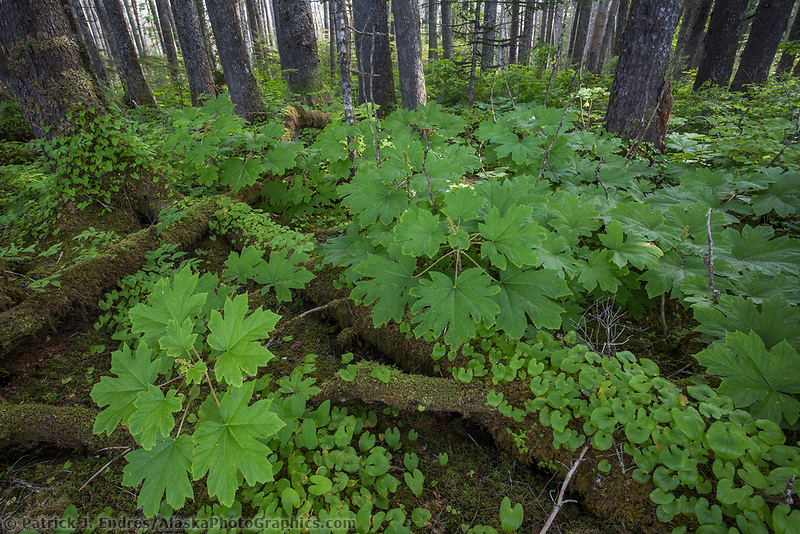 Undergrowth in the forest of Glacier Bay National Park, Southeast, Alaska