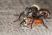 Gelbe Raubfliege, Gelbe Mordfliege, Männchen mit erbeuteter Blattwespe, Beute, Räuber, Laphria flava, Bee like Robber-fly, Bee-like Robber-fly, Bee like Robberfly, Raubfliegen, Asilidae, robberfly, robberflies, robber-fly, robber-flies