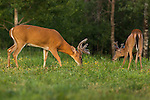 White-tailed bucks in summer