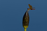 Dragonfly on Water Lily Bud,  San Angelo, TX