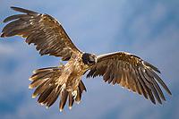 Bearded Vulture (Gypaetus barbatus), immature bird in flight, Pyrenees, Aragon, Spain, Europe