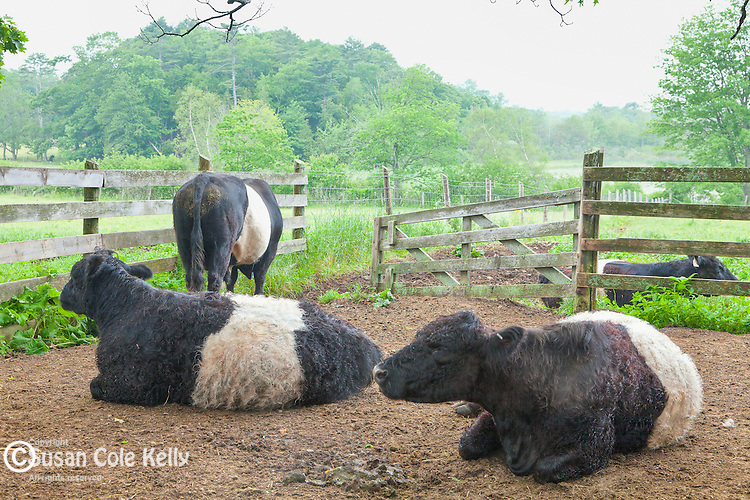 Belted Galloway cows at Aldemere Farm, preserved by the Maine Coast Heritage Trust in Rockport, ME, USA