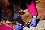 Mountain Lion (Puma concolor) biologist, Justine Alyssa Smith, tagging sub-adult male ear during collaring, Santa Cruz Puma Project, Santa Cruz, Monterey Bay, California
