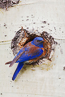 Western Bluebird, Sialia mexicana, adult male at nesting cavity in aspen tree,Rocky Mountain National Park, Colorado, USA