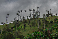 Palma de cera del Quindío en la carretera de La Línea en Colombia. / Quindío wax palm on the La Línea highway in Colombia. Photo: VizzorImage / Gabriel Aponte / Staff