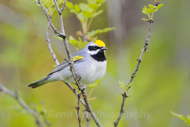 Golden-winged Warbler (Vermivora chrysoptera). St. Lawrence County, New York. May.