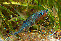 1S30-524z  Male Threespine Stickleback,  Mating colors showing bright red belly and blue eyes, gluing nest together with secretions from kidneys, Gasterosteus aculeatus,  Hotel Lake British Columbia