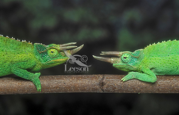 Jackson's Chameleon (Chamaeleo jacksonii) males face off in territorial dispute. Native to Kenya & Tanzania, introduced to Hawaii. Captive.