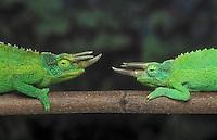 Jackson's Chameleon (Chamaeleo jacksonii) males face off in territorial dispute. Native to Kenya & Tanzania, introduced to Hawaii. Captive.